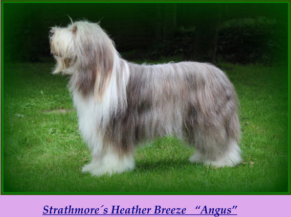 "Strathmore´s Heather Breeze   ""Angus"""